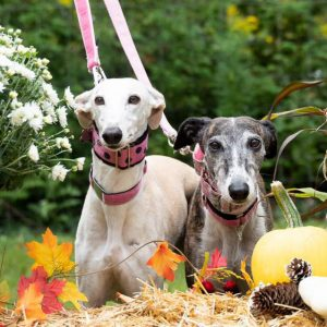 Two galgos on leashes in a garden